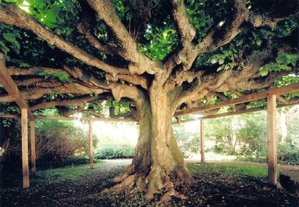 L'albero della danza
