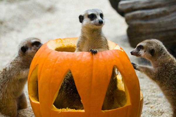 suricati (manguste africane) halloween