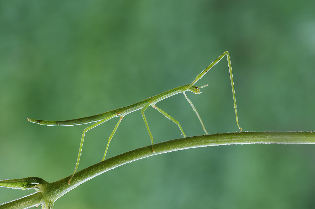 la nascita di un insetto stecco