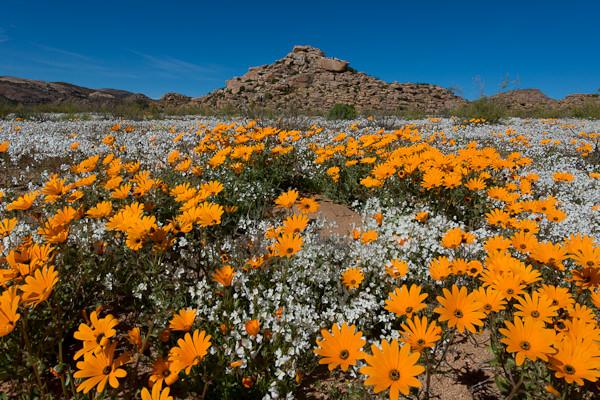 Namaqualand, il miracolo del deserto che fiorisce una volta l'anno