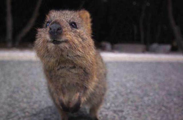 Quokka, l'animale più felice del mondo!