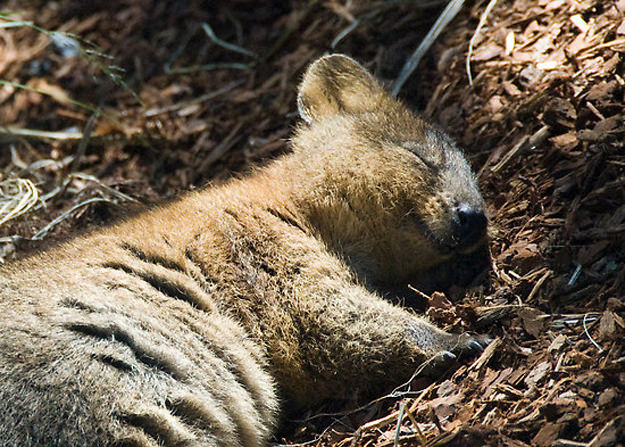 Baby quokka smiling - photo#16