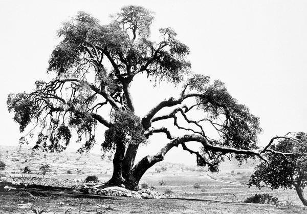 I 12 alberi pi antichi del mondo bioradar for Alberi simili alle querce