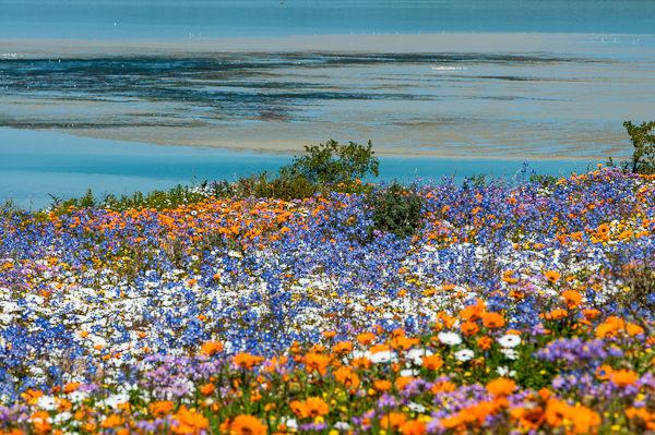 Namaqualand il miracolo del deserto che fiorisce una for Giardini fioriti tutto l anno
