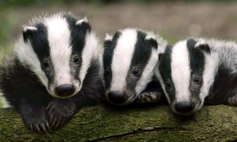 badger-4