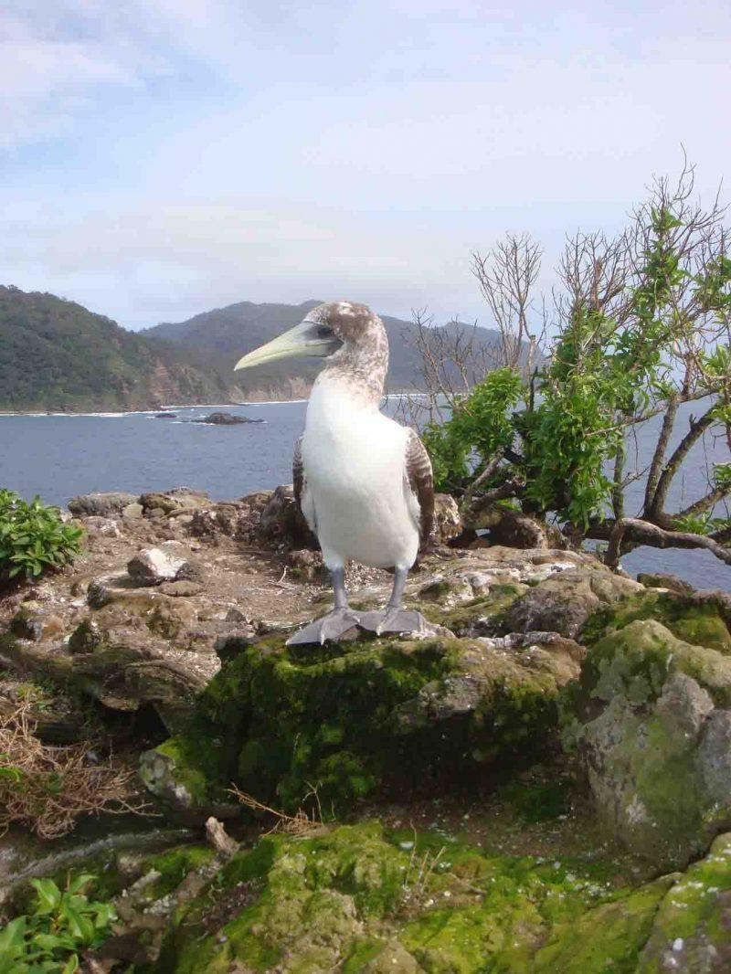 6-masked-booby-chick-p-de-langedsc05946