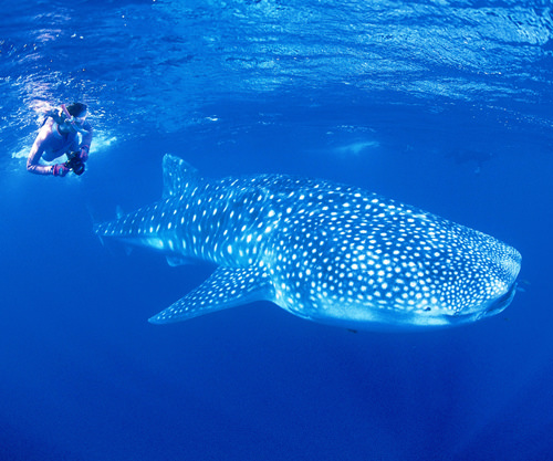 ningaloo-marine-park-whale-shark (1)